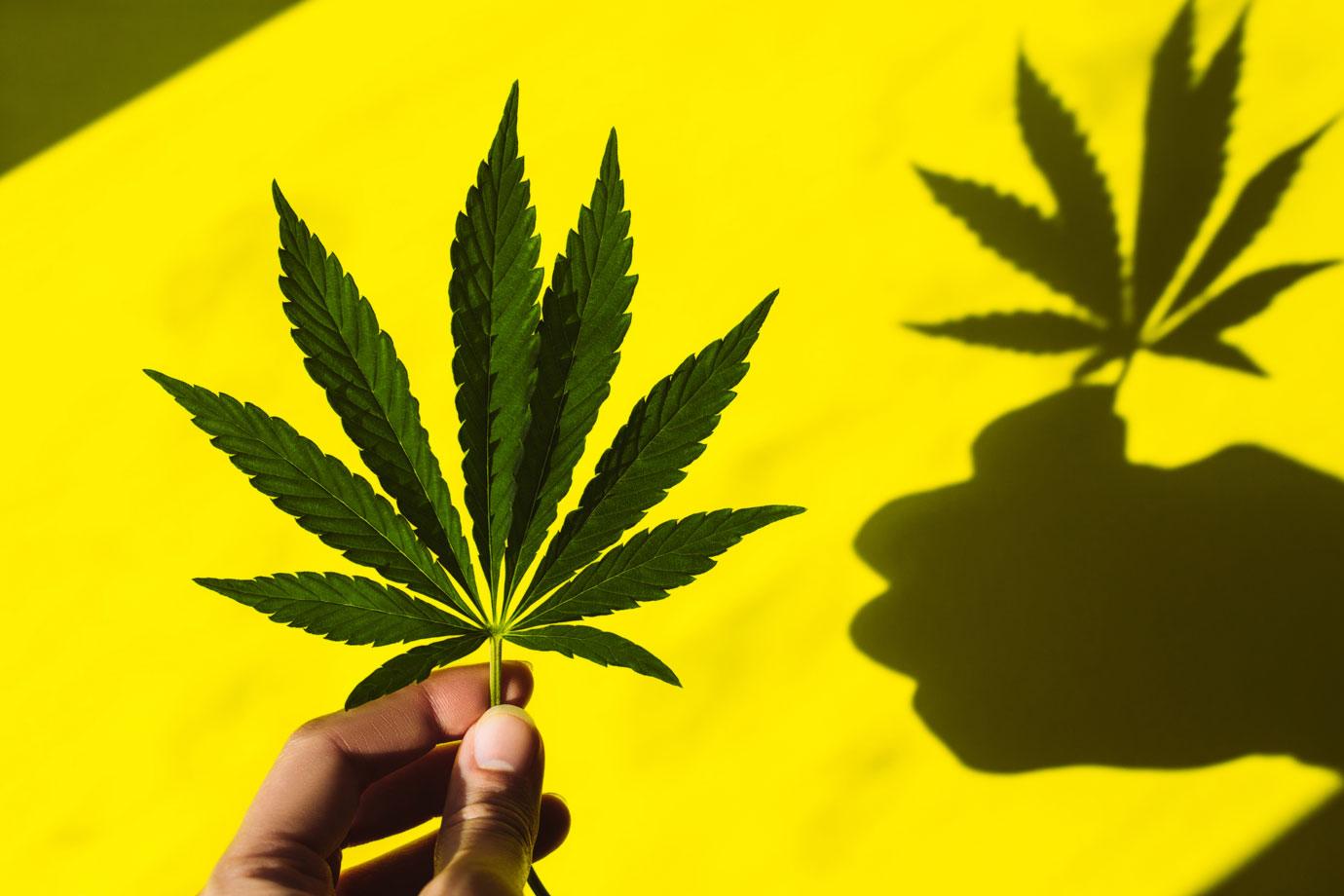 Cannabis Brasileiras: como chegaram aqui?