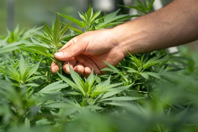 Como cultivar cannabis de forma legal e sem Habeas Corpus